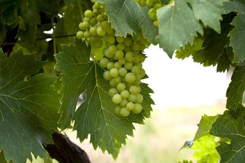 Weinregionen Languedoc Roussillon