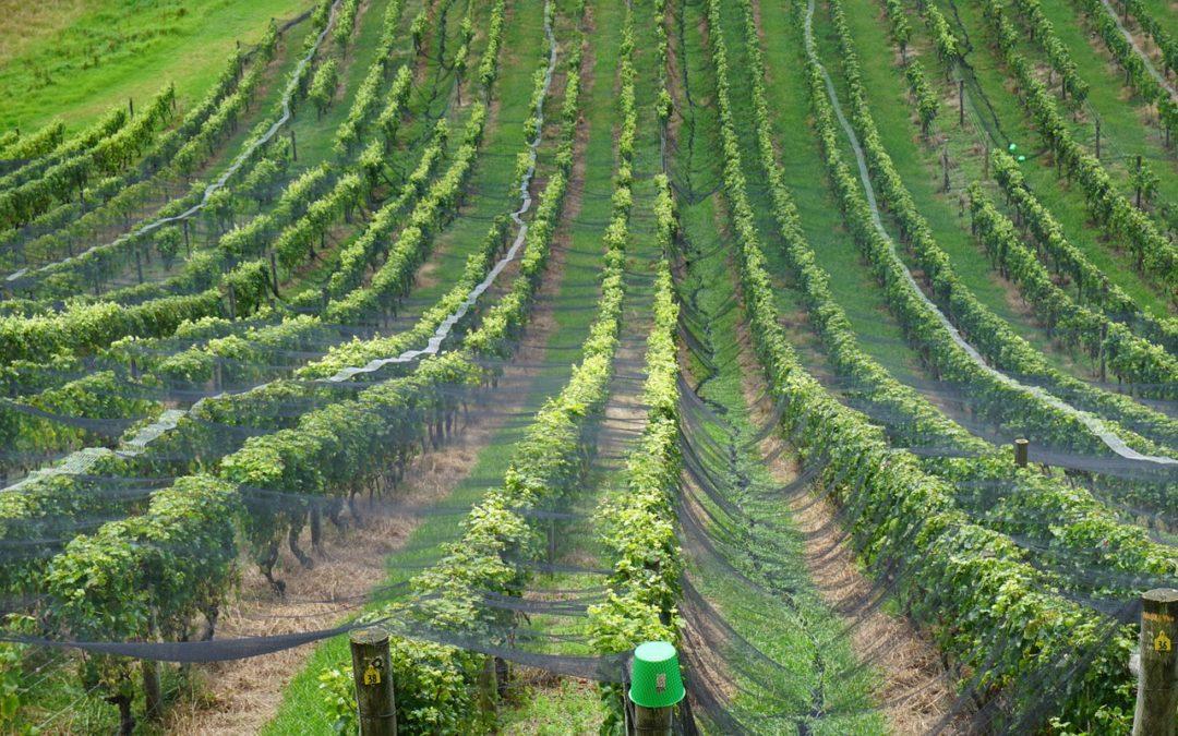 Sauvignon Blanc aus dem Marlborough – Verkostung