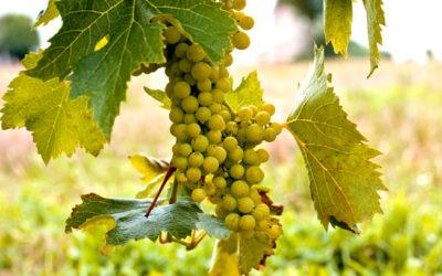 Weinbau Lateinamerikas. Probleme und Trends